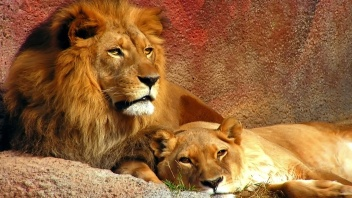 lions-family-17570